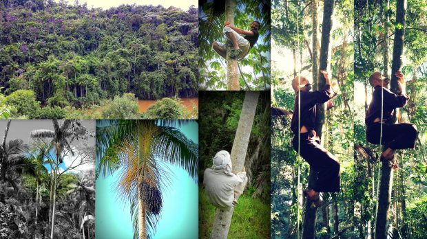 (top left) our Juçara filled forest; (bottom left) one of the first & biggest branches we got; (top middle) me climbing; (bottom middle) Antonio exercising on a Juçara trunk; (right) Antonio climbing with a machete to clean obstacles on his way up