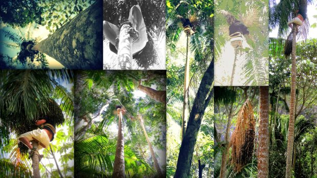 (top left) me up on the tree; (top left middle) you can see how I hold myself with the rope around my legs; (bottom left) you can see the seat in sitting on and the type around my chest that is holding me; (bottom left middle) Guilherme up high on a Juçara in the jungle area closet to our waterfall; (middle) Guilherme almost stay up there for an hour; (top right middle) Guilherme still hard at work; (bottom right middle) slowly lowering a Juçara tress with a rope; (right) in getting a branch from the tree right next to Monica & Richard's house