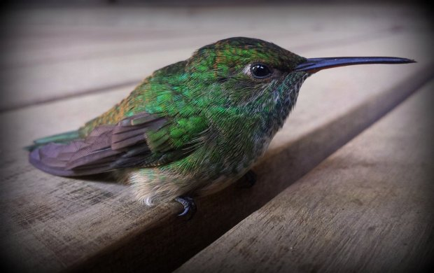 a rare occasion to get this close to a hummingbird, unfortunately it was because it needed to recover from flying against one of our windows