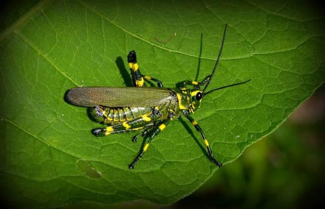 Yellow Striped Locust