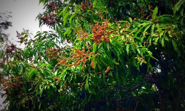 Our mangos are growing noticeably. They are just about to grow out of their olive sized stage.