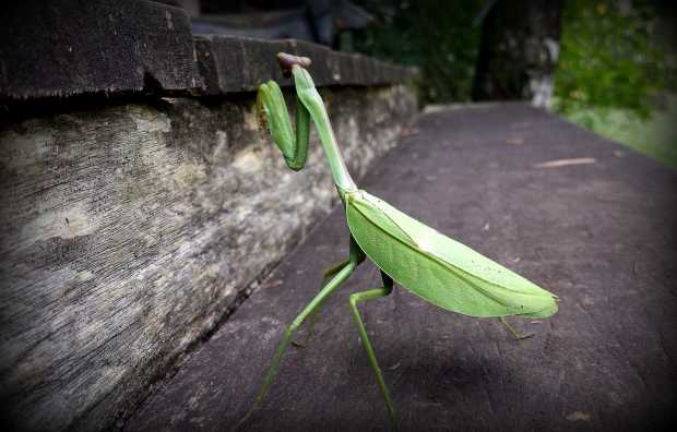 Oversized Praying Mantis