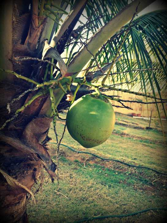 This is our first and only coconut. Not bad for the dry season.