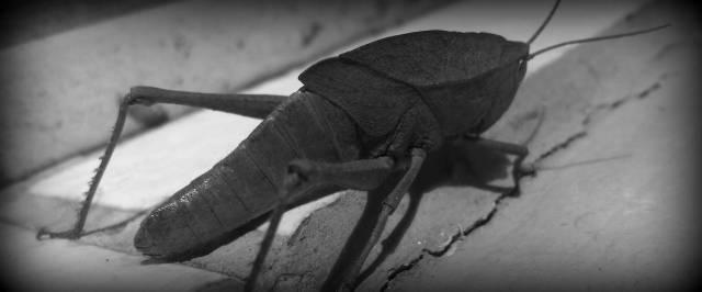 Giant Leaf Life LookingGrasshopper