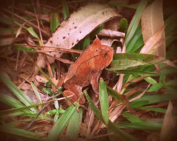 Leaf Like Looking Frog
