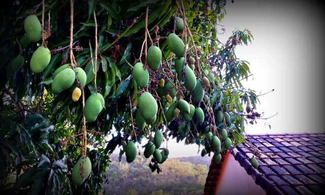 Our Fast Growing Mangos