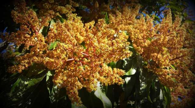 Gorgeous Mango TreeFlowering