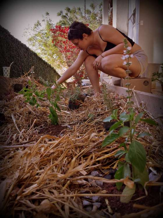 Starting with Basil and Rosemary, Thaís is planting kitchen garden herbs in our recently semi-mulched soil.
