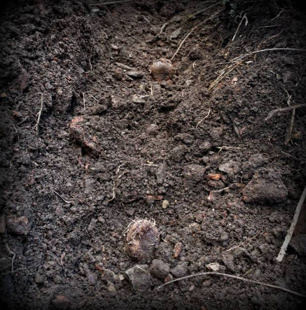 There is surprisingly good soil near one of our houses.  Terra Preta literally means black earth in portuguese and it refers to the fertile agricultural soils that the Indios of South America created over millennia.