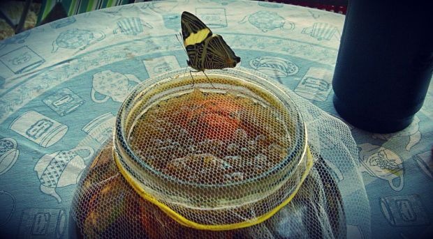 It's not only us who love drinking tibicos, this butterfly put it's proboscis (feeding tube) through the net and into the tibicos.