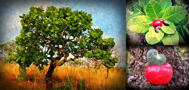 This beautifully contorted tree is an old  cashew / caju tree of the Cerrado (Brazilian Savanna). The fruit has two parts: (1) The cashew nut that most of us know and (2) the cashew apple, which has a very unique slightly sour, fibrous, &  not too juice flavor that feels very refreshing.  We have now spotted half a dozen trees on our land already. The trunk of this tree is just over a meter high and the thick branches make it comfortable to sit and feel embraced by this majestic tree.