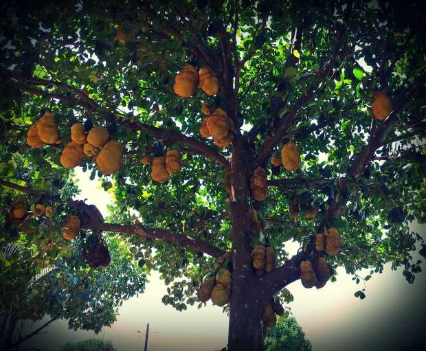 The urban jackfruit trees are gracing us with their abundance.  this is making urban extractivism a very fruitful endeavor for us,  while most city folks just stare at us in bewilderment about what we are doing.