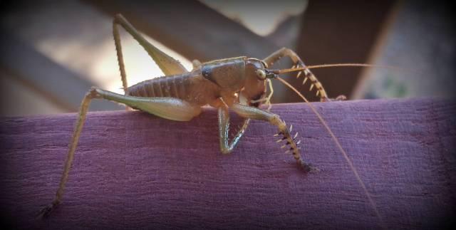 Alien Looking Locust