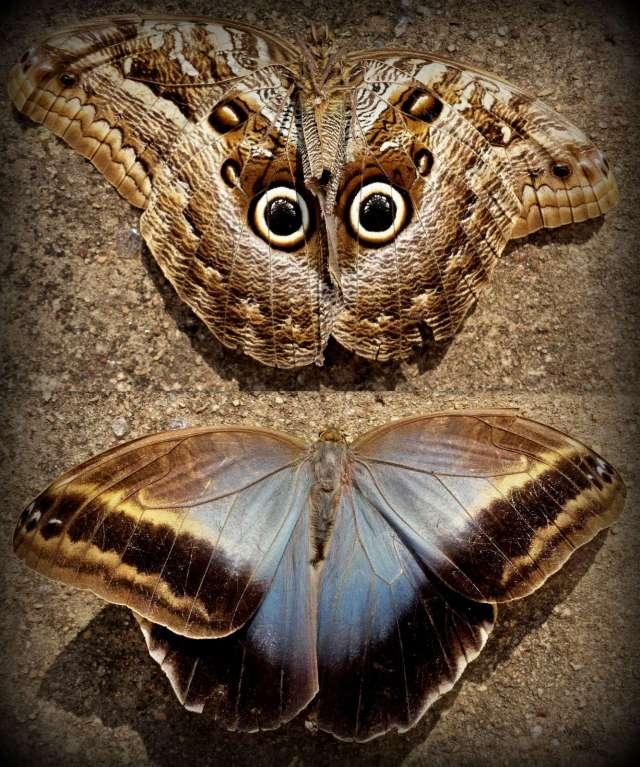 Owl Looking Moth