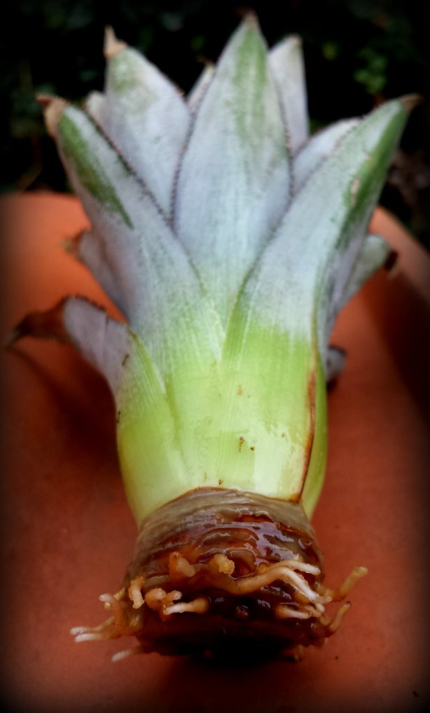 Pineapple Sprouting Roots