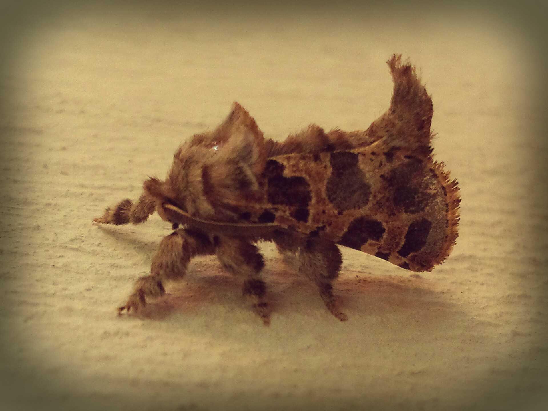 Muffled Moth