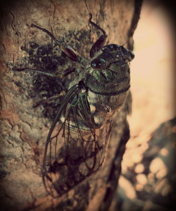 These big looking flies are quit fearless and make loud persistent sounds somewhat similar to those made by crickets.