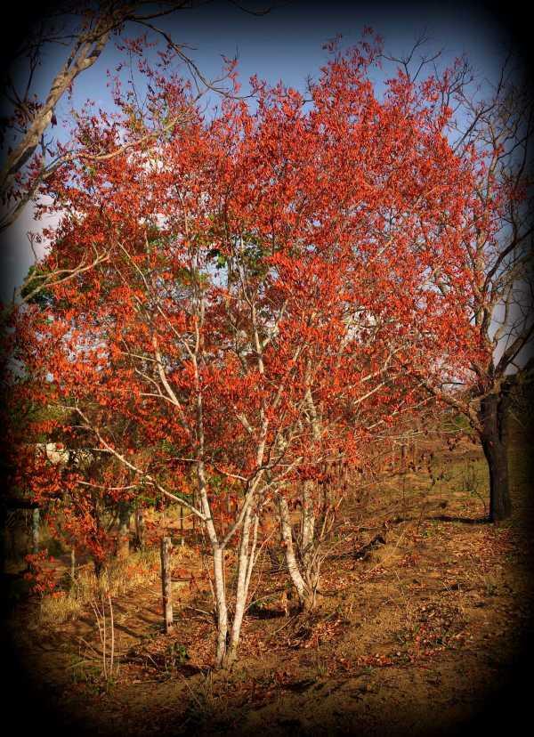 Orange Dried LeafTree