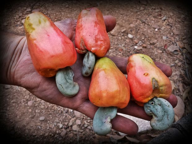 Our regular non-cerrado caju / cashew tree is giving fruits. Compared to the caju / cashew of the Cerrado, the regular caju tree is much bigger and so are their fruits.