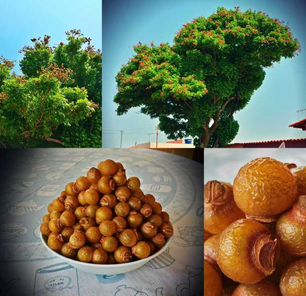 The soapberry tree's fruit are exactly what the name implies, berry shaped soap balls. Their outer shell has the texture of hardened plastic that turns soapy once ribbed with water. We found the tree on one of the side streets of Abadiania.