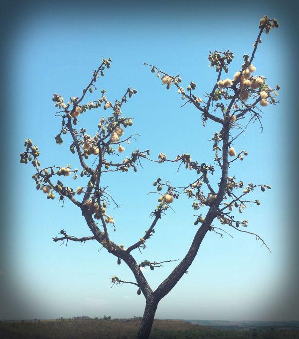 Wild Tree Cotton