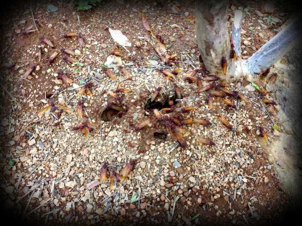 Multitudes of potential leaf cutter ants (5cm in size) buzzing intensely while getting ready to fly out and try to found new ant colonies.